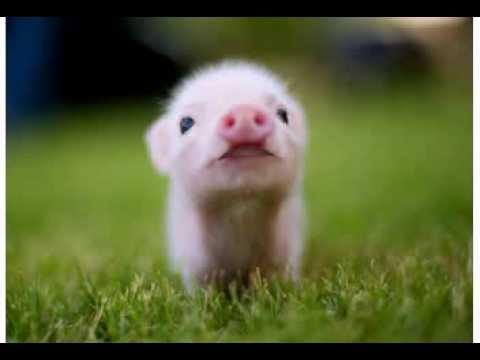Cute Piglets Wallpaper Happy Birthday Funny Birthday Videos Penelope The Pig