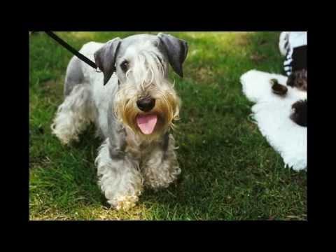 Чески   Терьер/Cesky Terrier (порода собак HD slide show)!