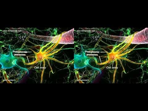 Neuroglial cells 3D on Vimeo.mp4