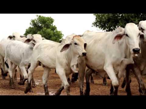 Producción de ganado bajo confinamiento- TvAgro por Juan Gonzalo Angel