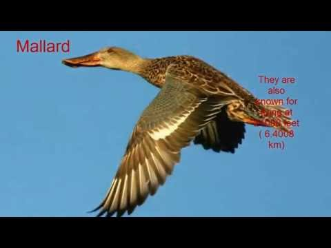 Top 10 Highest Flying Birds- Flying Bird- Common