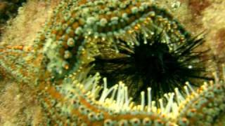 Starfish attacks sea urchin