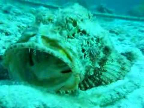 Scorpion Fish Being Cleaned By Pederson Shrimp