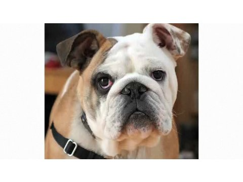 Pros & Cons of a Bulldog | Dog Breeds