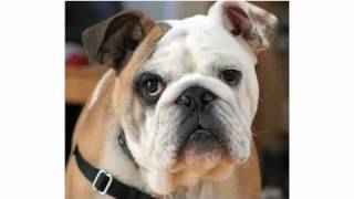 Pros & Cons Of A Bulldog | Dog Breeds