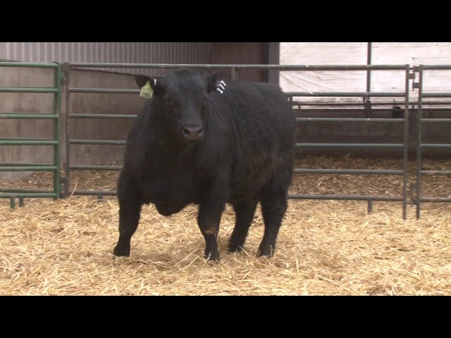 Schiefelbein Angus Farms Lot 177