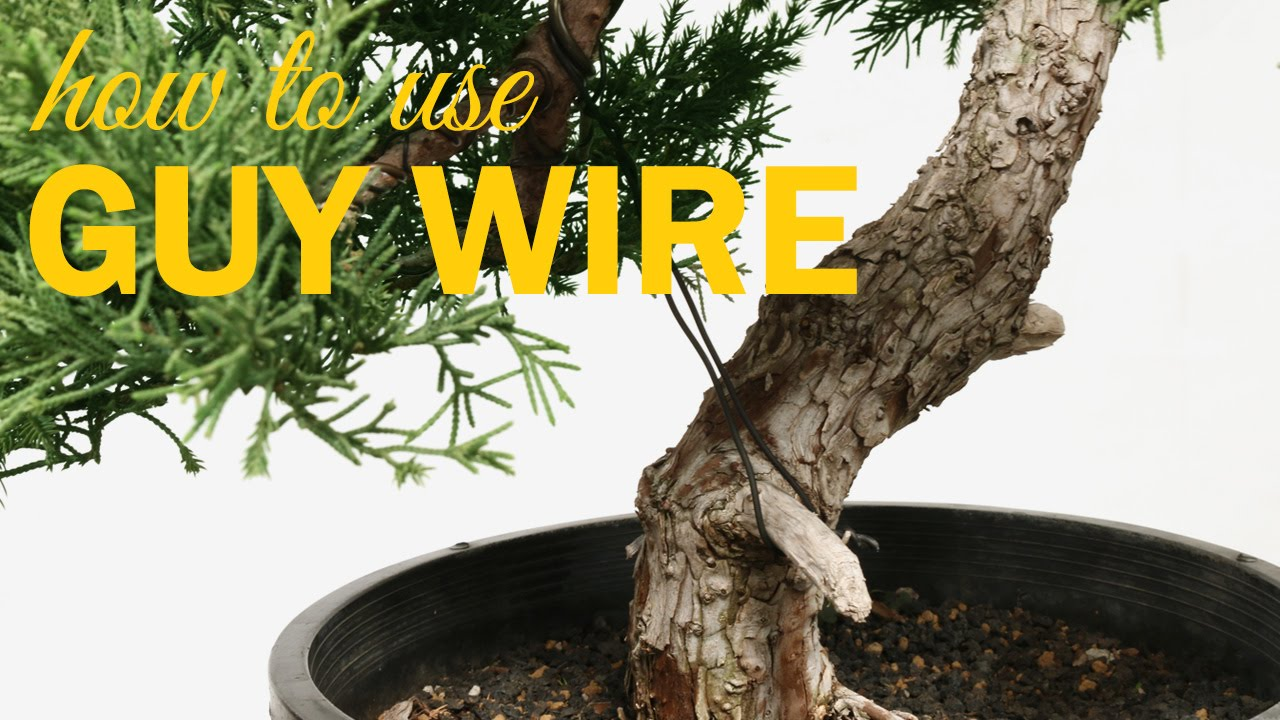 Bonsai Techniques How To Use Guy Wire Youtube Wiring Your Tree