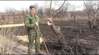 видео Обрезка плодовых деревьев и кустарников весной, осенью и зимой