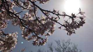 鹿ノ戸公園  桜  2018