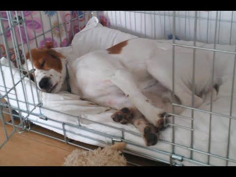 Abbie - Sleepy time, Brittany dog (8 months)