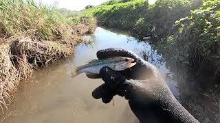 侵略的外来種が絶滅危惧種をおびやかす理由がこちら【琵琶湖ガサガサ探検記56】