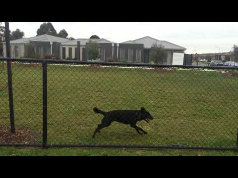 Nox - The Australian Kelpie - jumping the dog park fence.  Prison escape.