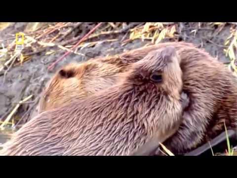 Как размножаются бобры видео