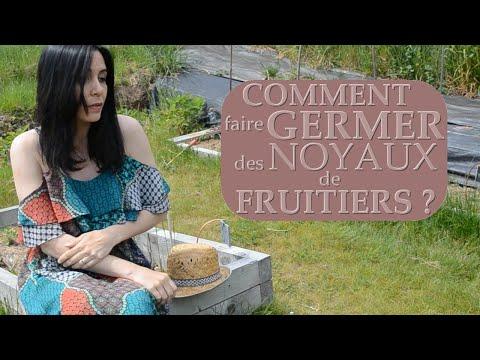 Comment faire germer des noyaux de fruitiers?