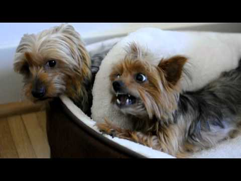 two-yorkies-have-to-share-one-bed