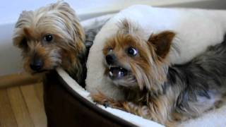 Two Yorkies Have To Share One Bed