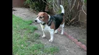 Elvis The Beagle 10th Month Anniversary 8-13-2012