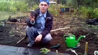 Клубника на агроволокне