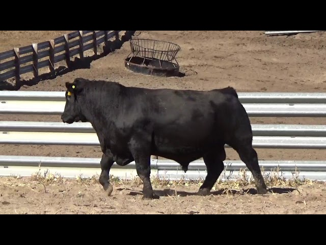 Connealy Angus Lot 165