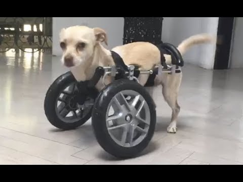LIVE: Adoptable Two Legged Chihuahua Puppy Learns How To Use Her Wheels   The Dodo LIVE
