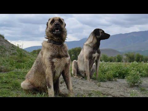Турецкий кангал самый сильный собака в мире