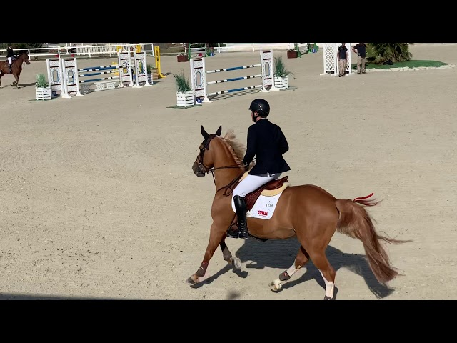 Stallion by El Torrero Du Muze X Nabab De Reve b.2014