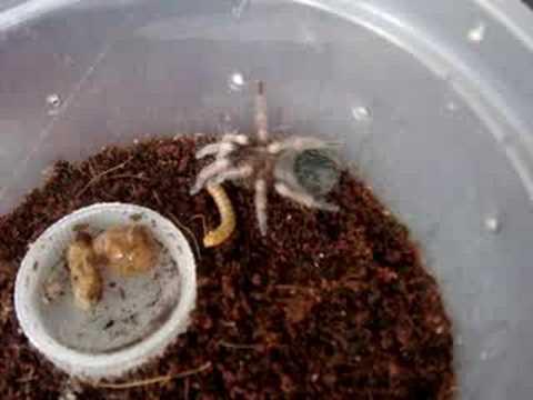 Baby Mexican Redknee Tarantula Feeding Youtube