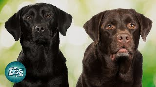 American Labrador VS English Labrador