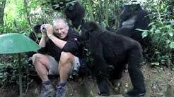 Der Silberrücken- Gorilla