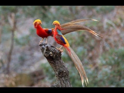 Apa Ini Burung Phoenix Yg Legendaris Itu Youtube