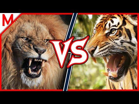 Lion Vs Tiger Animal Battle Youtube