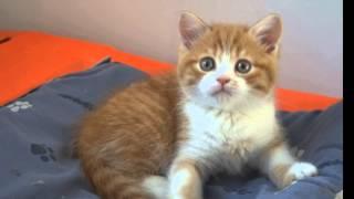 Продажа. Шотландский котенок Бакс! Благовещенк.