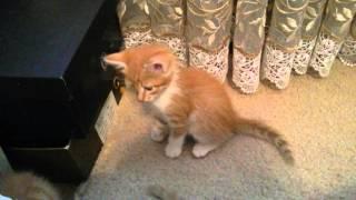 Рыжие котята, отдадим в хорошие руки!