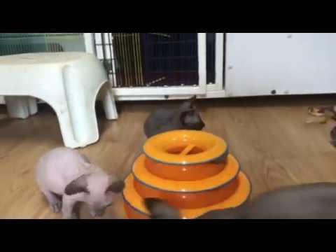 World's rarest cat breed BamBob kitten playing!