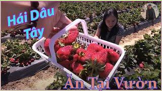 Đi Bẻ Dâu Tây Ăn Miễn Phí Tại Vườn | Strawberries Picking