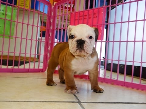 English Bulldog Puppies Dogs For Sale In Charlotte North