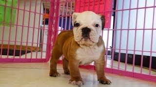 English Bulldog, Puppies, For, Sale, In, Charlotte, North Carolina, Nc, Lexington, Clemmons, Fuquay