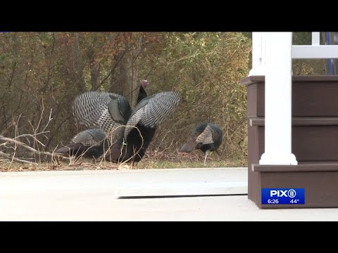 NJ Division Of Fish And Wildlife Deployed To Toms River To Wrangle Wild Turkeys