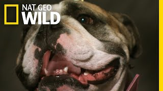 Dogs Change Facial Expression When Humans Pay Attention | Nat Geo Wild