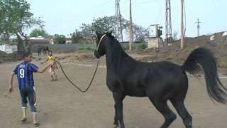 مزرعة مهنا - خيول عربية اصيلة سلالات نادرة