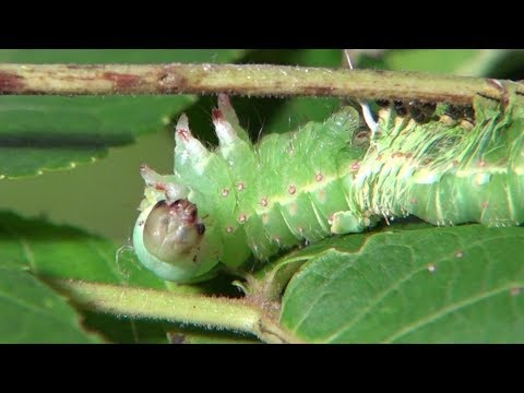 Luna Moth caterpillar molting and eating skin (Actias luna)