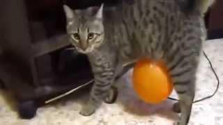 ТОП 10 приколов с кошками новинка   смотреть бесплатные видео приколы онлайн1