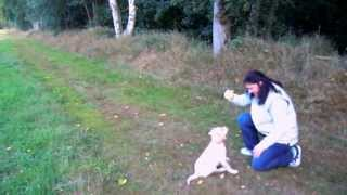 Gun Dog Labrador Puppy Training Week 3 (retrieve, Marked Retrieve, Walking In Hill)