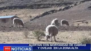 ALERTAN CON MORTANDAD DE CABRAS Y OVEJAS  EN LA ZONA ALTA