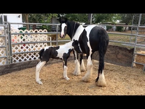 Gypsy Vanner Mare Gives Birth
