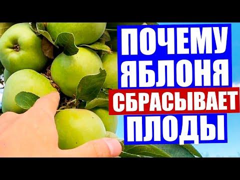 Вопрос: У каких сортов яблонь плоды не опадают?