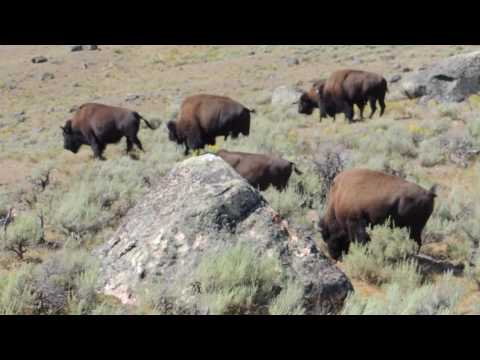 Bison herd on the move in North Yellowstone, Wyoming
