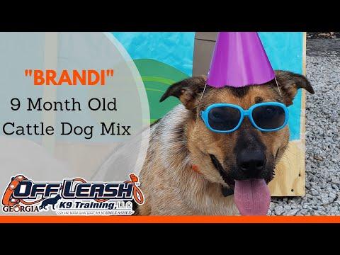 Brandi | 9 Month Old Cattle Dog Mix | Board & Train Program | Dog Trainer Duluth, Georgia