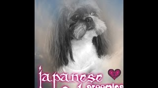 Japon Style Shih Tzu Grooming