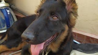 My lovely Dog Puppy fight   My labrador puppy vs Afghan Kuchi dog fight